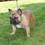 Bonitas orejas sin otitis de un macho de bulldog frances