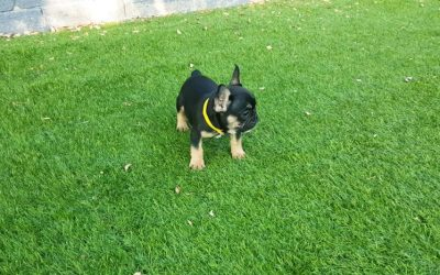 Fisologia canina del bulldog frances