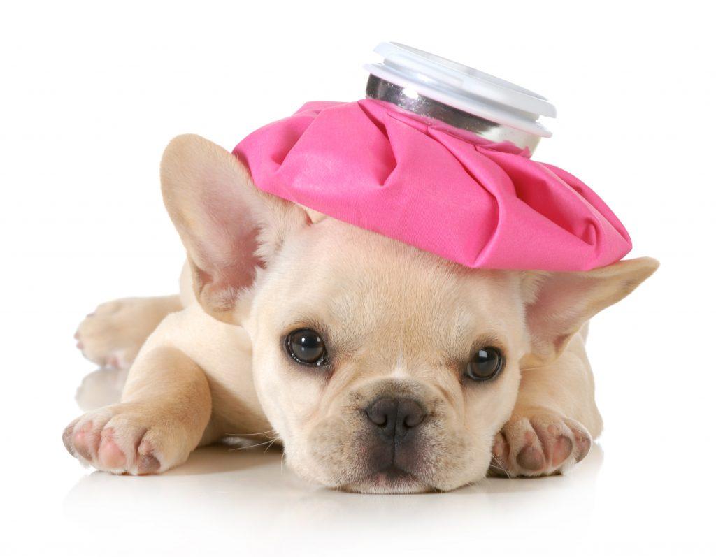 el moquillo del bulldog frances una enfermedad grave