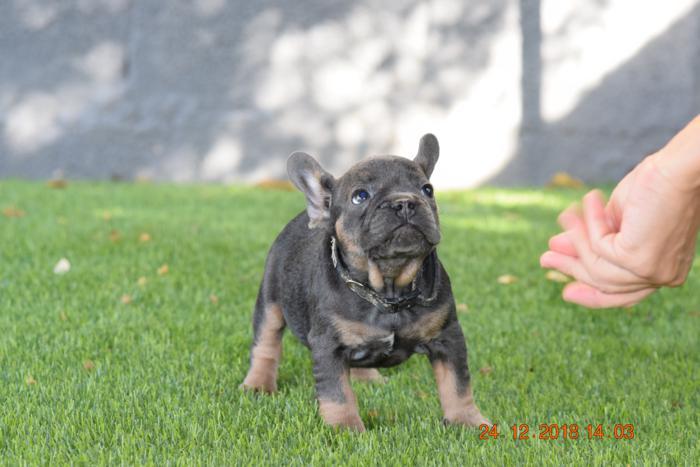cachorrito bulldog frances blue and tan libre de otitis