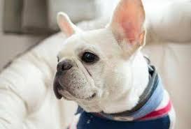 fotografia de otitis en perros bulldog frances