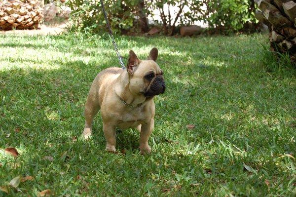 Bonita espresion de esta hembra de bulldog frances fawn