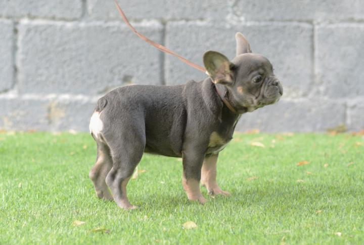 Bulldog frances blue y tan, cachorro hembra, tricolor. Italina
