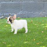 alergias cutaneas en perros bulldog frances
