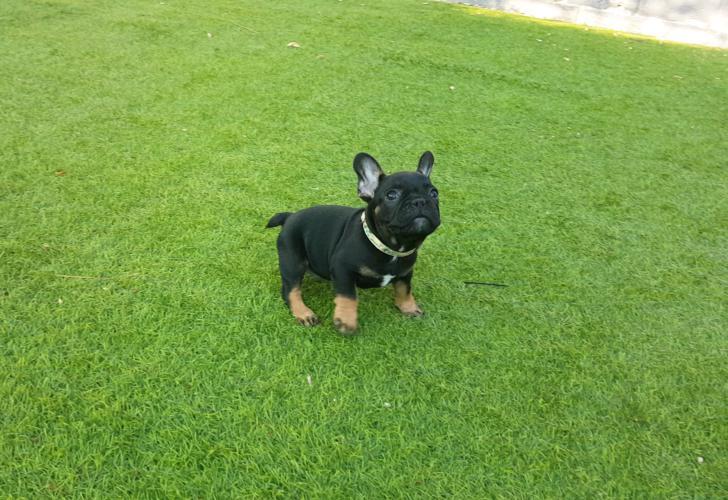 Cachorro bulldog frances black and tan, Akim 2
