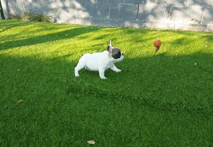 Cachorro bulldog frances blanco y fawn, Garald 5