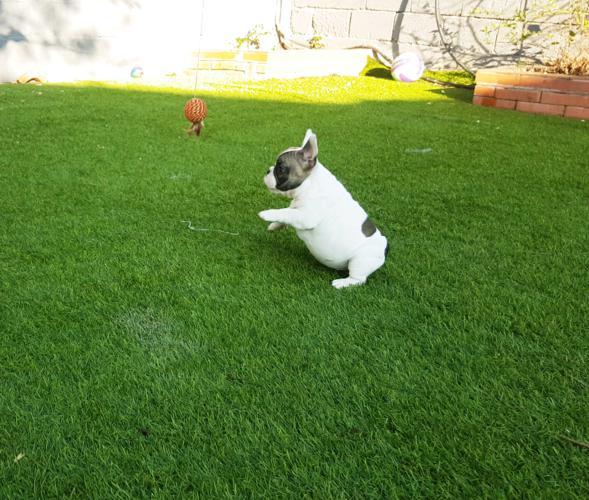 Cachorro bulldog frances blanco y fawn, Garald