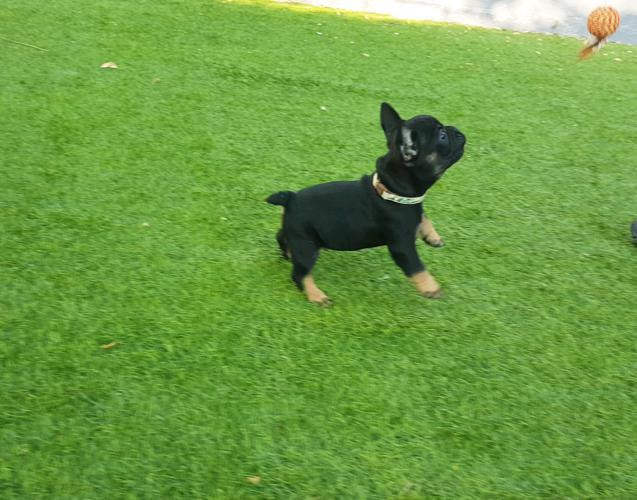Cachorros bulldog frances black and tan, Akim