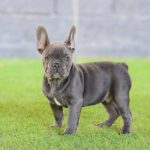 Cachorros bulldog frances blue, tambien llamado blue and tan