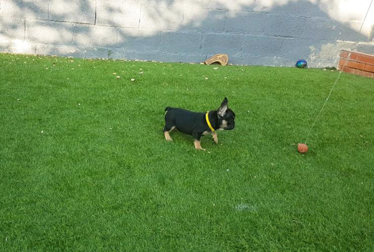 Cachorros de bulldog frances, black and tan, Lutza 2
