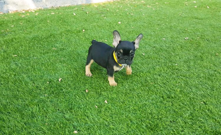 Cachorros de bulldog frances, black and tan, Lutza 5