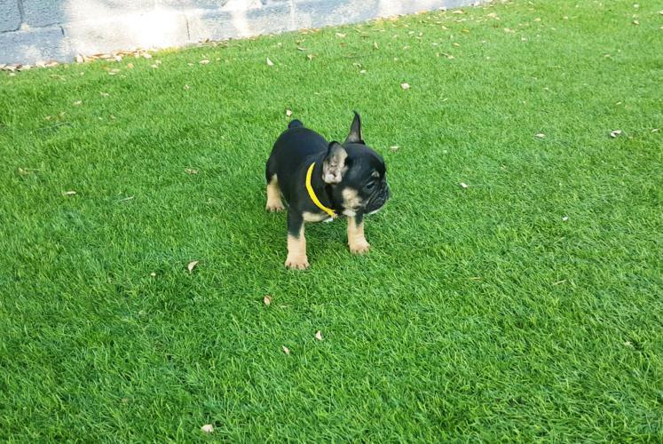 Cachorros de bulldog frances, black and tan, Lutza