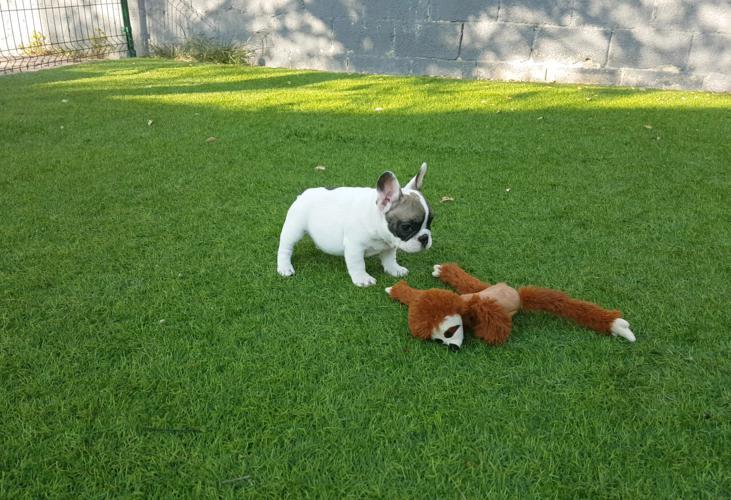 Cachorros de bulldog frances blanco y fawn, Garald 4