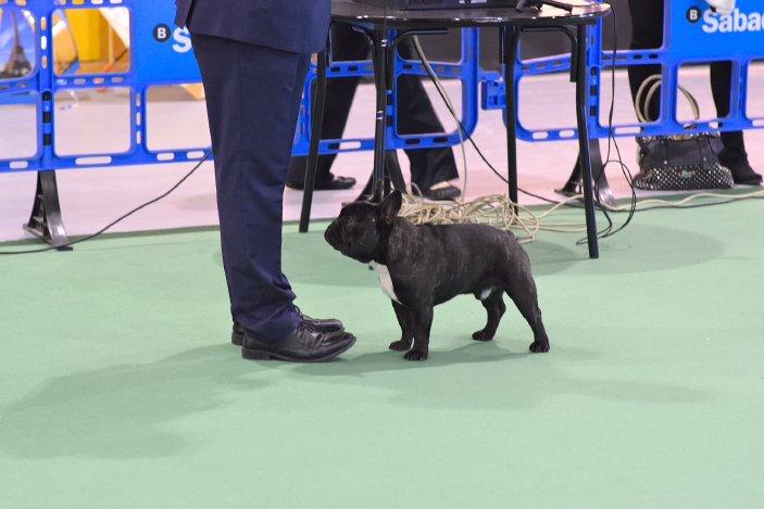 Campeon de españa macho Bulldog frances Rosa Dorada Romeo