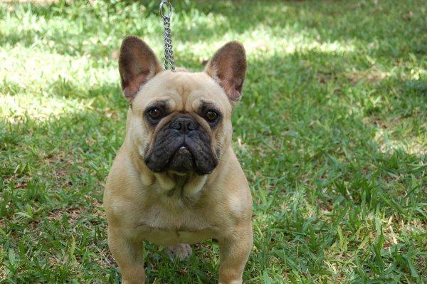 Cara simpatica y de estrovertida de nuestra querida hembra de bulldog frances