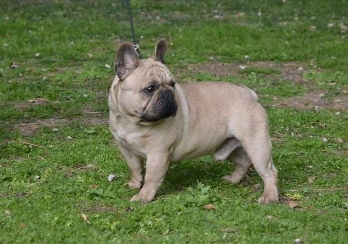 Expectacular macho bulldog frances color fawn, Ares