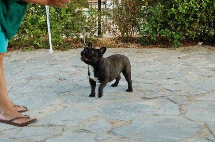 Foto de Hembra de bulldog frances negro atigrado Boule & Onuba Valerie