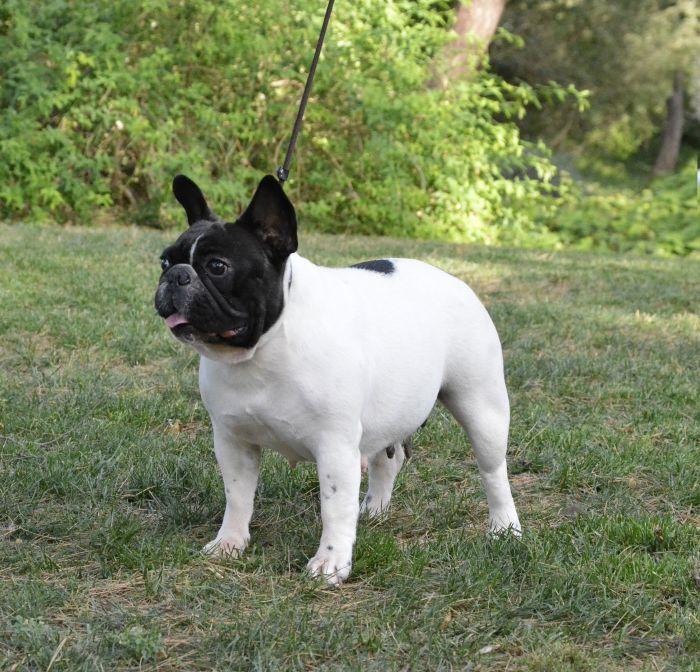 Foto de hembra de bulldog frances blanca y atigrada