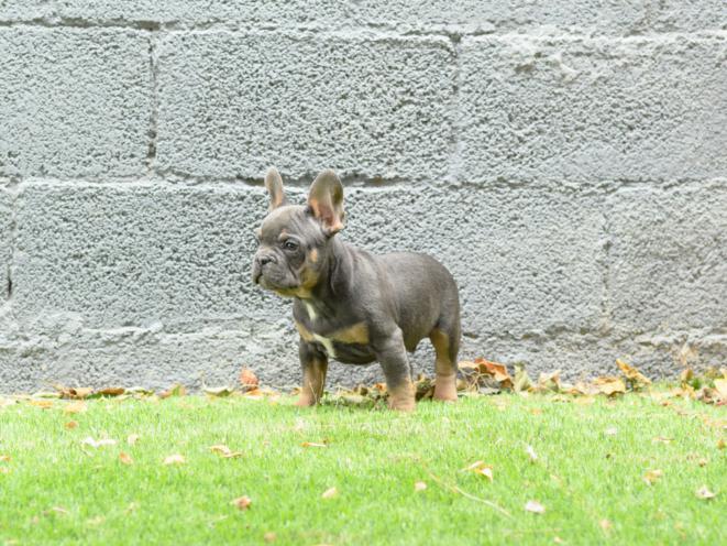 Foto del Macho bulldog frances blue and tan, Gerardo