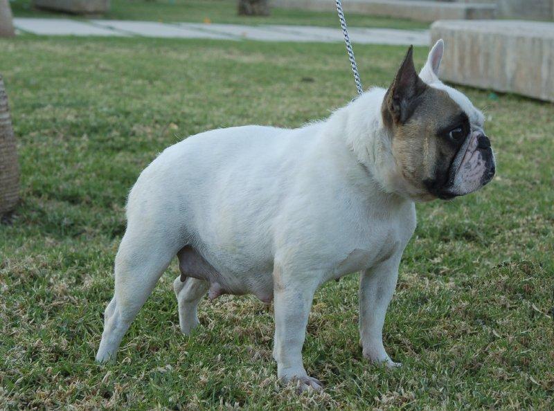 Fotos de hembra bulldog frances color blanco y fawn, Fibi french beauty le