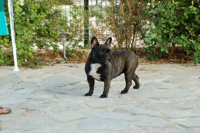 Fotos de nuestra Hembra de bulldog frances negro atigrado Boule & Onuba Valerie