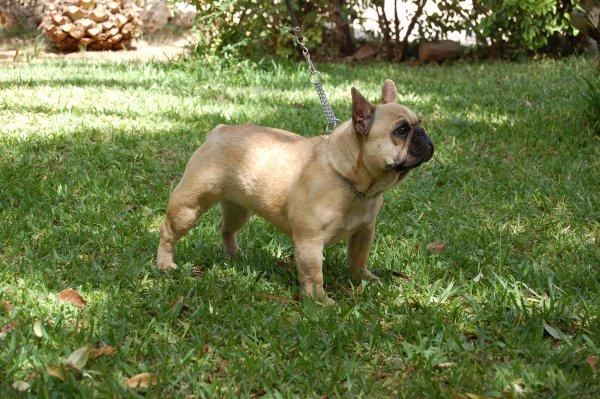 Hembra de bulldog frances fawn, preciosa mirada