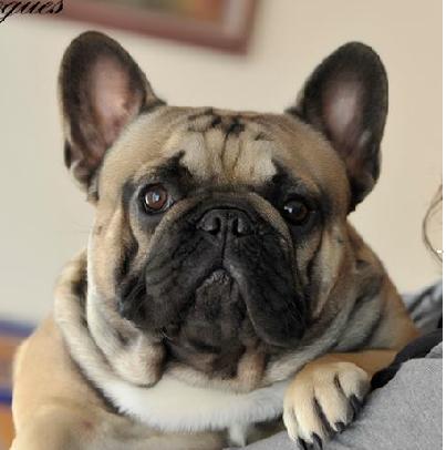 Macho de Bulldog Frances Rosa dorara Aragorn