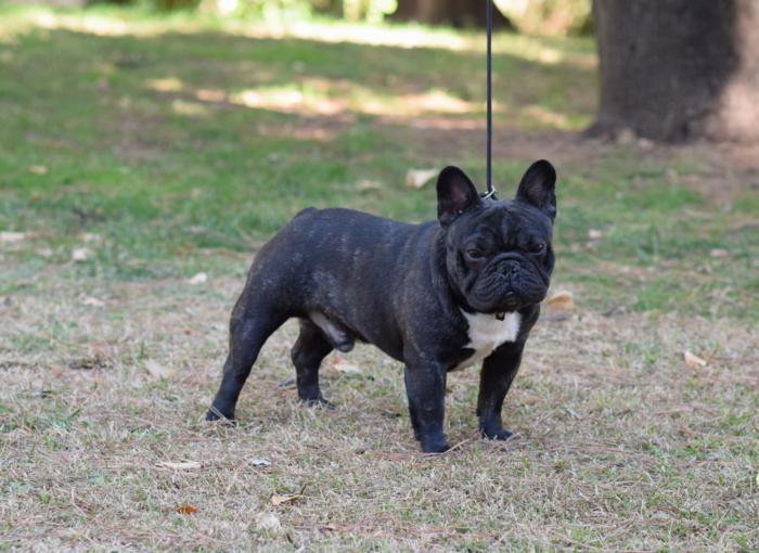 Macho de bulldog frances negro atigrado Jaguel