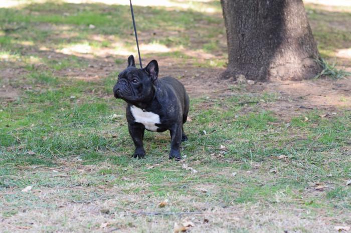 Macho negro bulldog frances Da revoltiña Jaguel