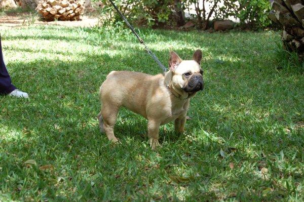 Orgullosos de tener a esta hembra de bulldog frances Petit Llevr Formula Love