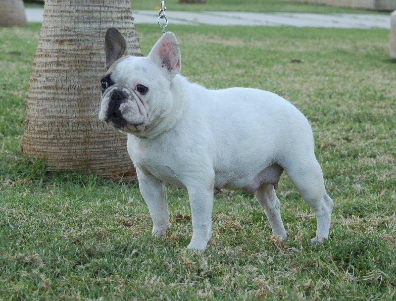 Preciosa foto de nuestra hembra de bulldog frances Fibi