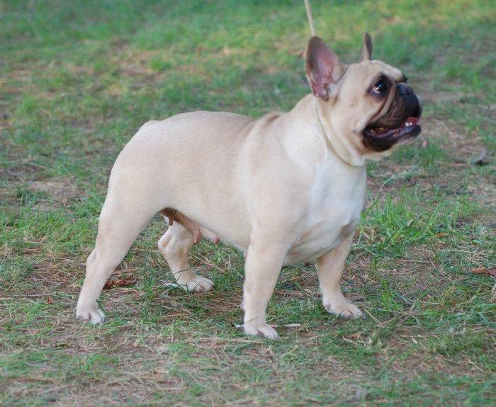 Preciosa hembra de bulldog frances Rosa Dorada Beatriz, color leonado
