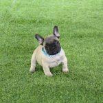 bonito cachorro bulldog frances leonado, fawn, canela, crema