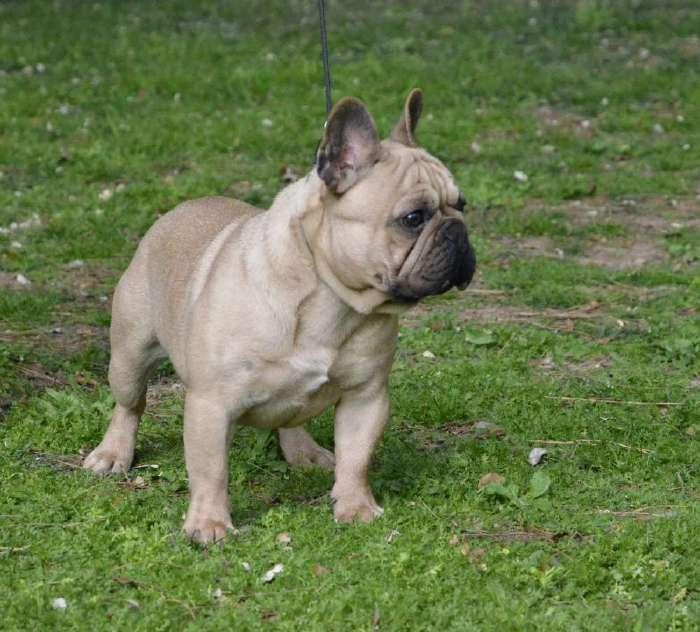 bonito frontal del macho de bulldog frances, Ares