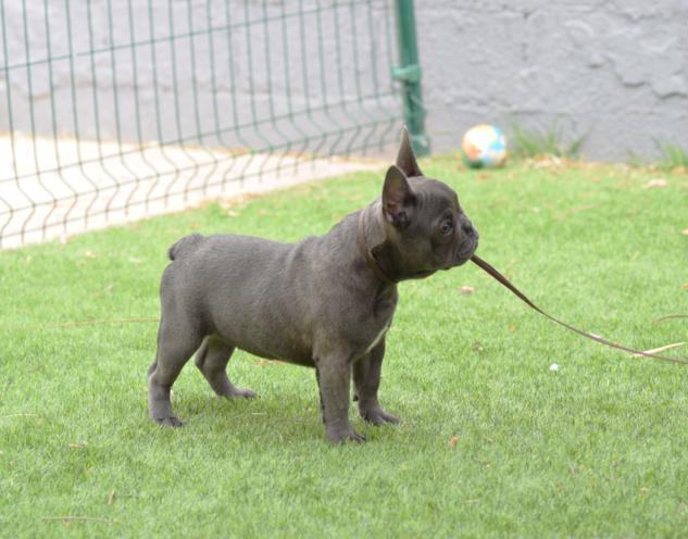 bulldog frances blue, cachorrita hembra. Carina 2, colores azul tricolor