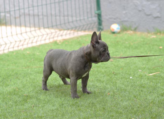 bulldog frances blue, cachorrita hembra. Carina 4, azul y gris