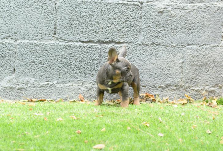 bulldog frances blue, cachorros. Gerardo 3, gris