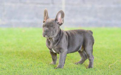 bulldog ftrances azul, cachorros machos. Luisito 5, color azul