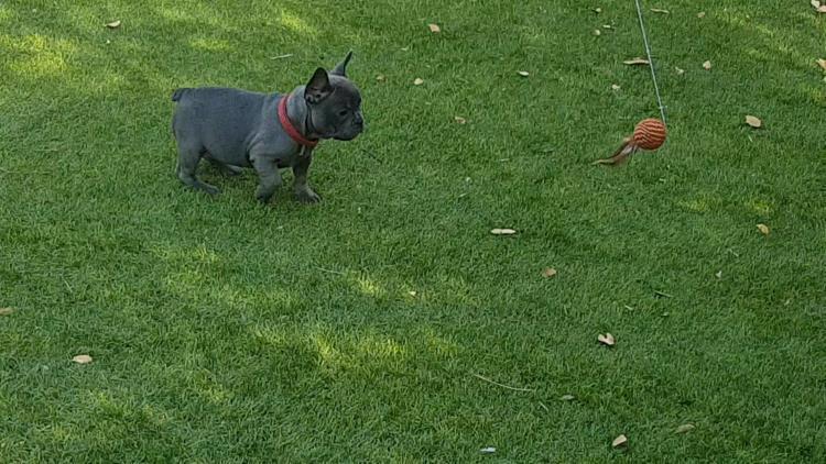 cachorra bulldog frances blue, hembra, Thelma 2