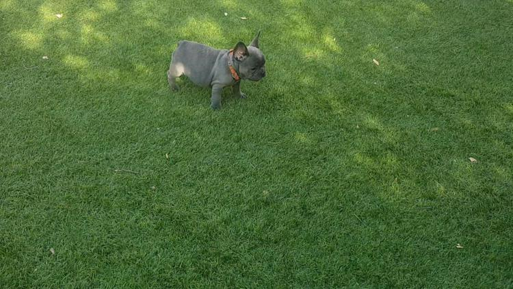 cachorra bulldog frances blue, hembra, Vera 2