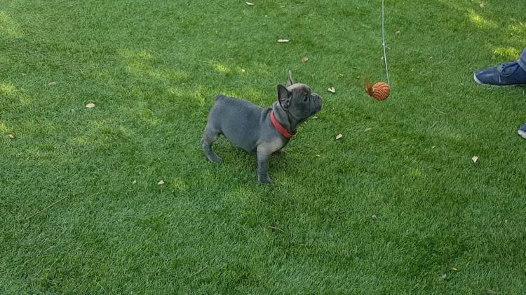 cachorra de bulldog frances blue, hembra, Thelma