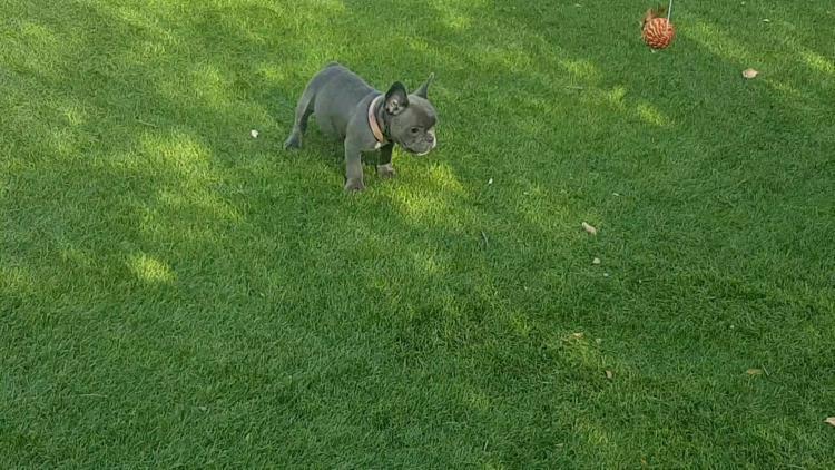 cachorra de bulldog frances blue, hembra, Ursula
