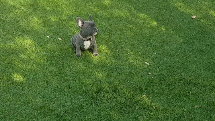 cachorrita bulldog frances blue, hembra, Ursula 2