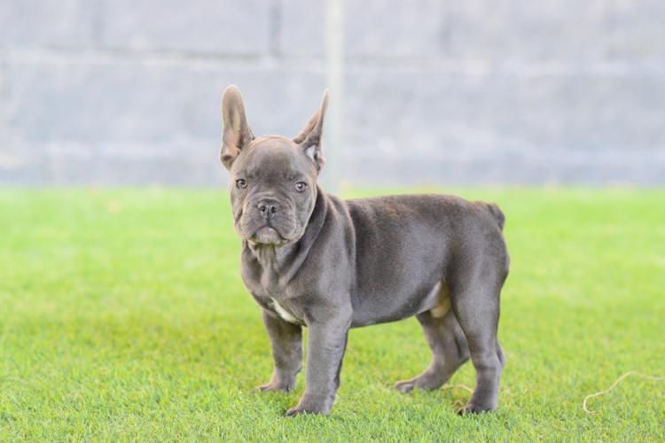 macho bulldog frances blue, cachorrito. Luisito 4, color azul
