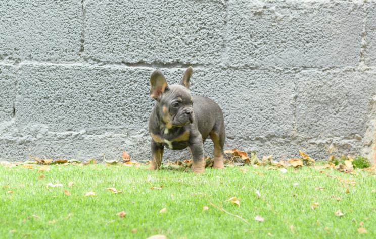 preciosa foto del bulldog frances blue and tan, cachorro. Gerardo 5