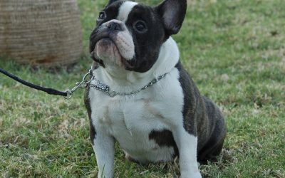Hembra de bulldog frances Jenifer