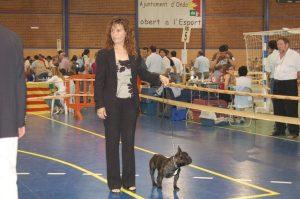 Exposicion de bulldog frances atigrado en Castellon
